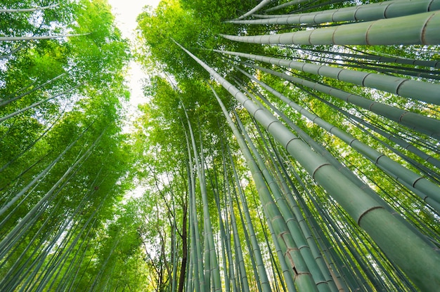Bambushain, bambuswald bei arashiyama, japan