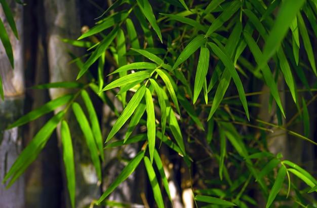 Bambuspflanzen mit grünen blättern für natürlichen hintergrund und tapeten