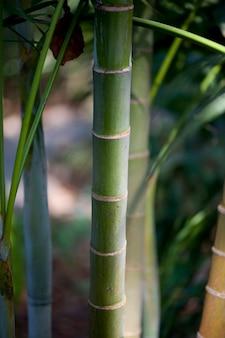 Bambusstiele des tropischen grünen dschungels
