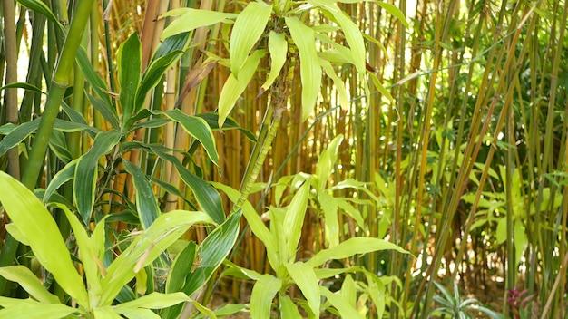 Bambuswald, exotische asiatische tropische atmosphäre. grüne bäume im meditativen feng-shui-zen-garten. ruhiger ruhiger hain, morgendliche harmoniefrische im dickicht. japanische oder chinesische natürliche orientalische ästhetik