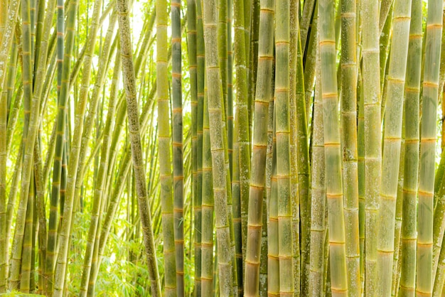 Bambuswald, grüne bambushain im morgensonnenlicht, sulawesi, indonesien
