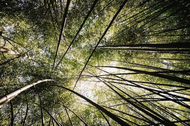 Bambuswald mit morgensonnenlicht