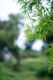 Bambuswaldgrünhintergrund natur u. schatten