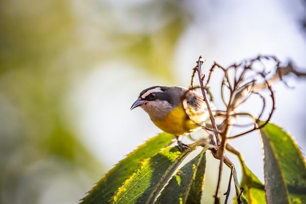 Bananaquits (coereba flaveola) aka cambacica-vogel, der auf einem baum in brasiliens landschaft steht