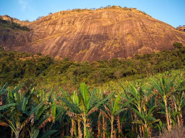 Bananenanbau mit berg in brasilien