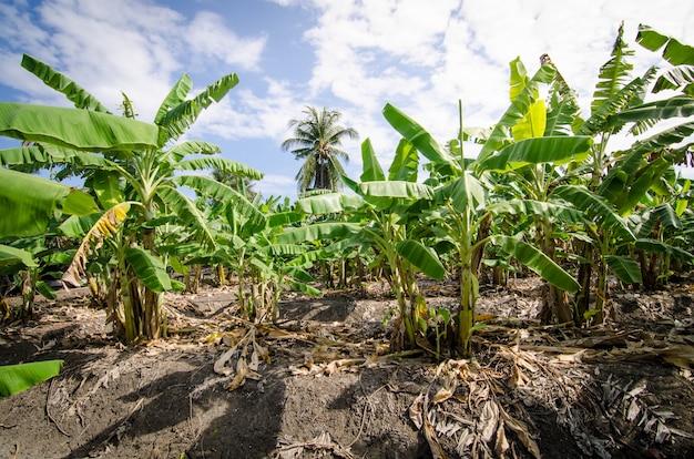 Bananenbaum im bananenbauernhof in der sommerzeit