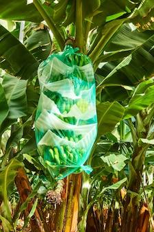 Bananenbaum mit eingewickelten bananen auf der plantage