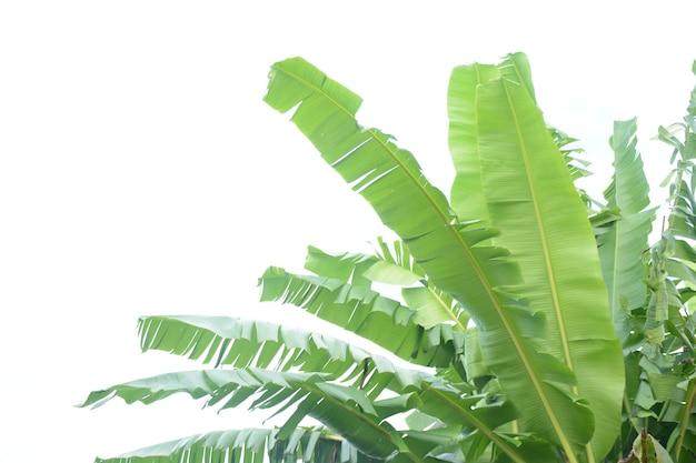 Bananenblätter auf weißem hintergrund isoliert