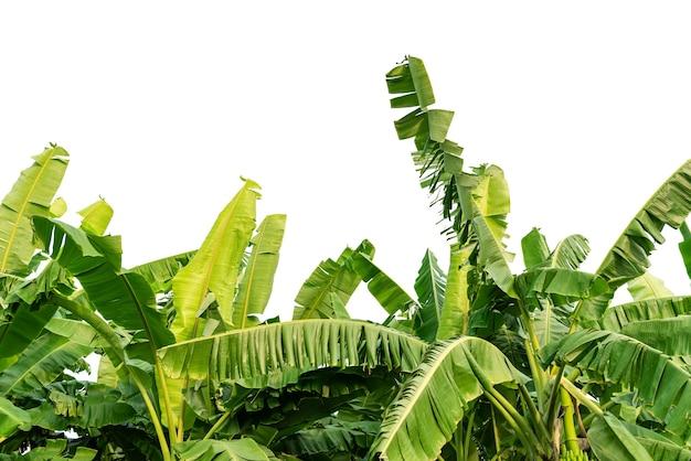 Bananenblätter auf weißem hintergrund isoliert.