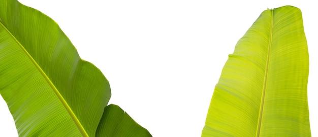 Bananenblätter auf weißem hintergrund.