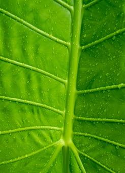 Bananenblatt, grüner urlaub, abstrakter hintergrund