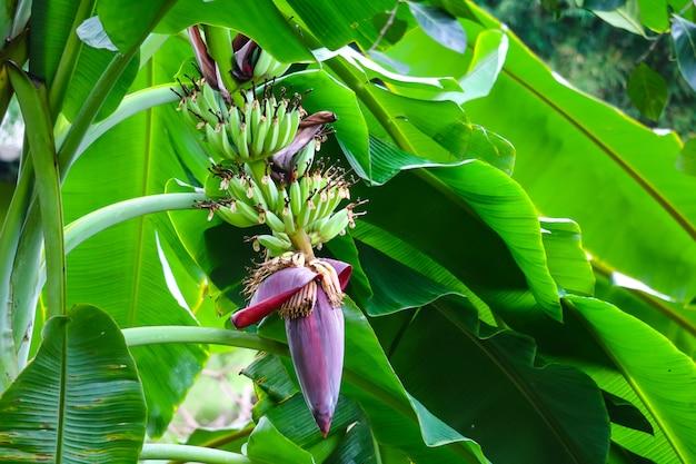 Bananenblüte eigenschaften, um milch zu trinken