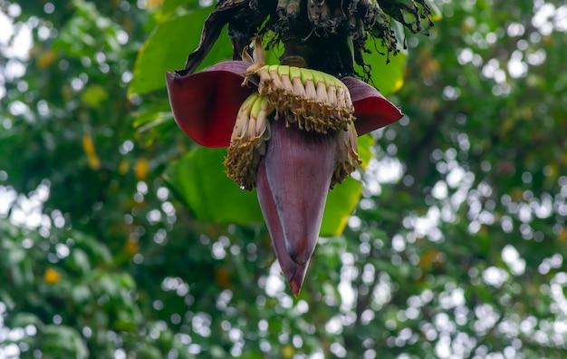 Bananenblüten (musa paradisiaca), im flachen fokus