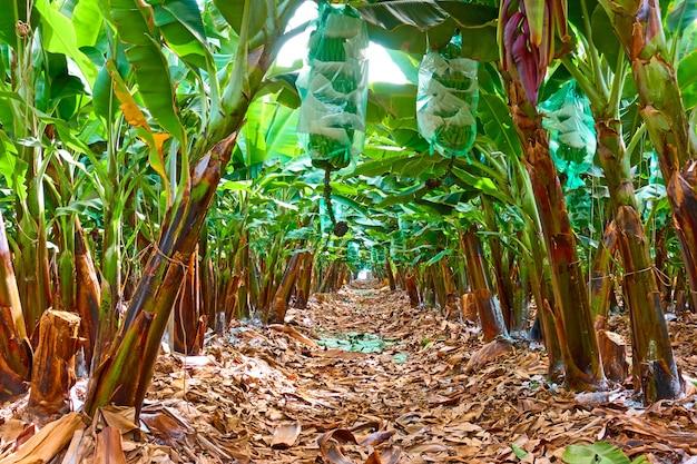 Bananenplantage - baumreihen im bananengarten