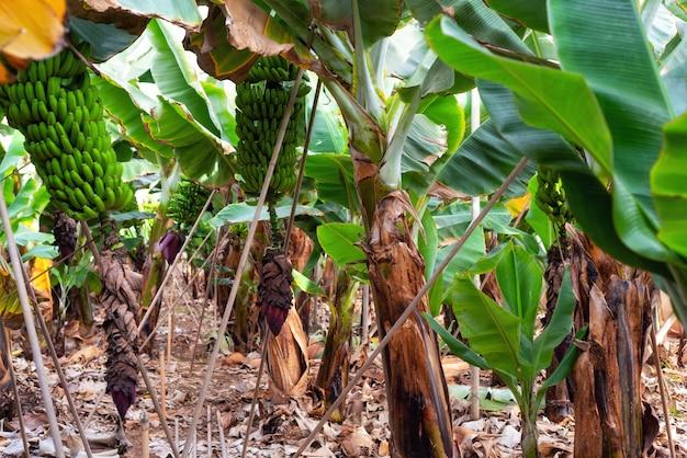 Bananenplantage in teneriffa, kanarische inseln, spanien.