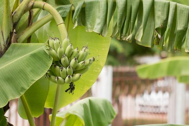 Bananenstaude auf baum