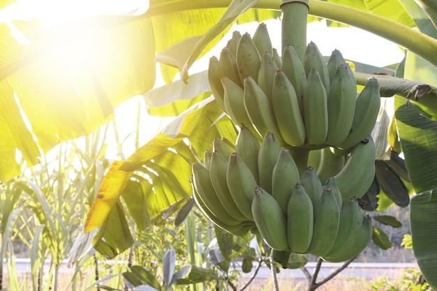 Bananenstaude auf pflanze