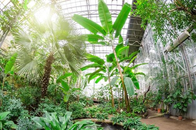 Bananenstauden mit früchten und blumen im üppigen tropischen garten.