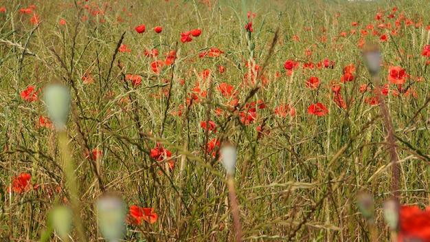 Banner mohnwiese im licht der untergehenden sonne, mohn und kornblume