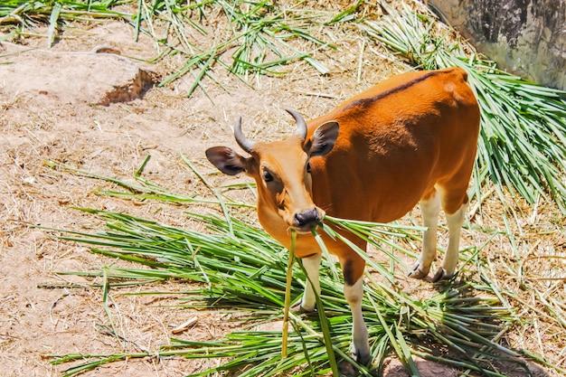 Banteng fressendes gras ist eine wildviehart, die einen unverwechselbaren charakter hat.