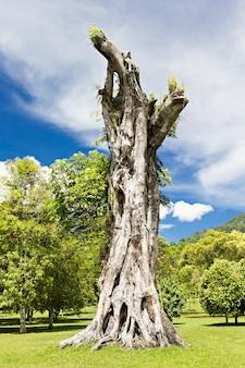 Banyan-stumpf