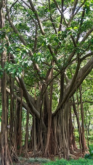 Banyanbaum in hongkong.