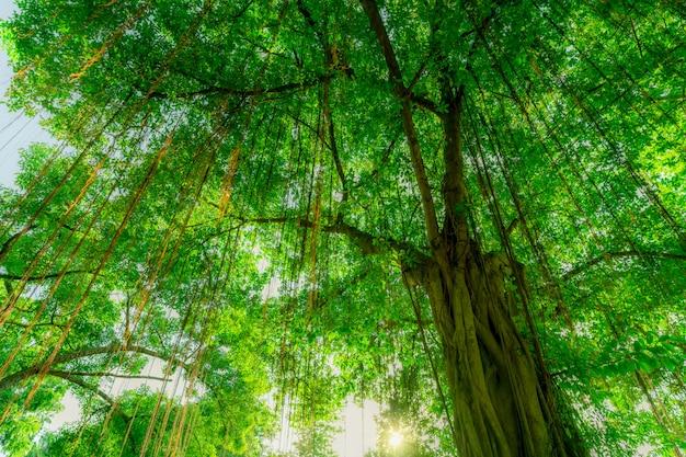 Banyanbaum mit grünen blättern im tropischen wald mit sonnenlicht