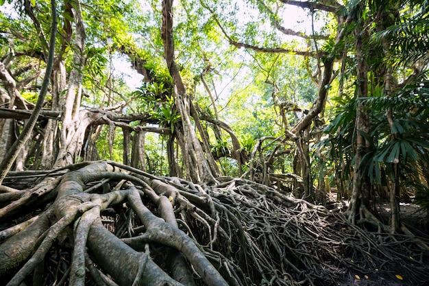 Banyanbaumwurzel im frühlingswald des kleinen amazonas oder sang nae canal, phang nga, thailand