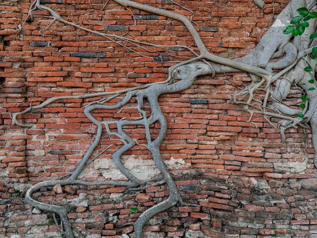 Banyanbaumwurzeln auf alter gebrochener roter backsteinmauer, wurzelmuster, das parasitäre wurzelanker auf dem wandhintergrund im buddhistischen tempel wat phra mahathat in ayutthaya, thailand