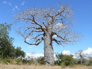 Baobab-baum, wald