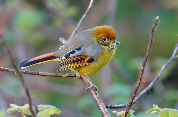 Bar-throated minla bar-throated siva minla strigula schöne vögel von thailand