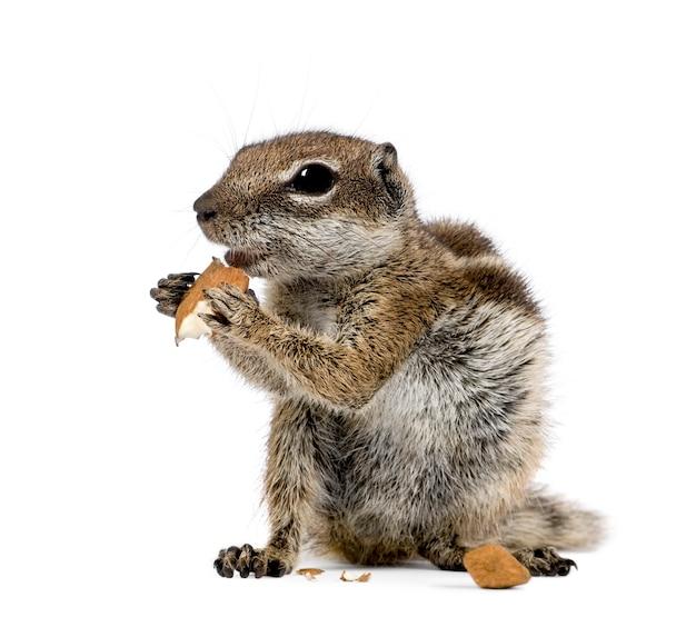Barbary ground squirrel frisst nüsse, atlantoxerus getulus isoliert