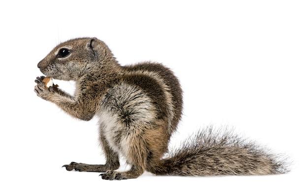 Barbary ground squirrel frisst nuss, atlantoxerus getulus isoliert