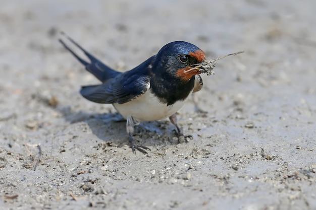 Barn swallow sammelt am flussufer baumaterial für ein zukünftiges nest.