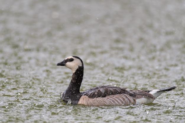 Barnacle goose schwimmt bei starkem regen auf dem see