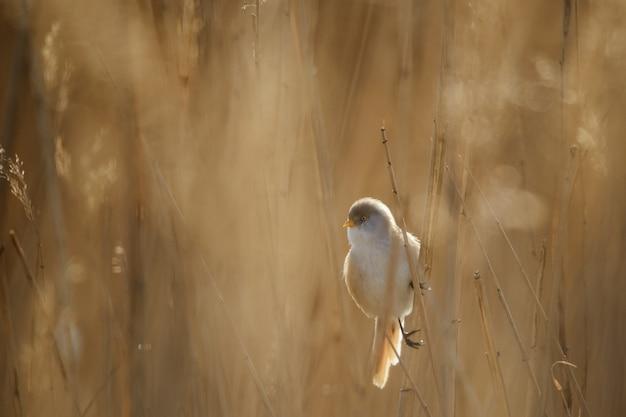Barttitten (panurus biarmicus) sitzen auf einem stock auf schönem hintergrund.