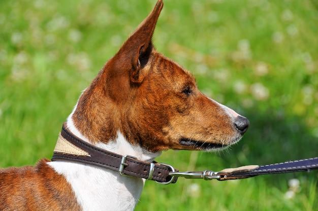 Basenji hund an der leine. porträt
