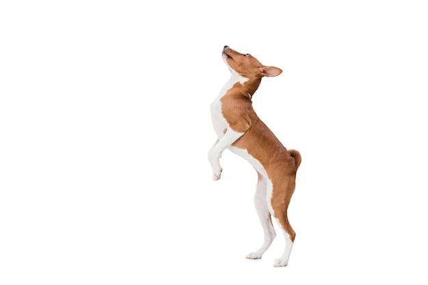 Basenji-hund lokalisiert auf weiß