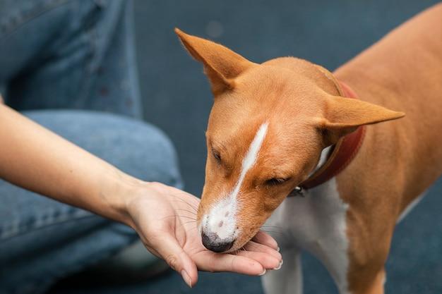Basenji hund wird gefüttert