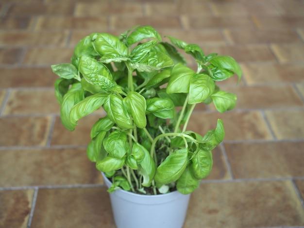 Basilikum (basilicum) topfpflanze