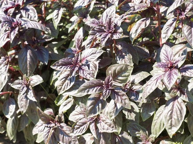 Basilikum ocimum basilicum duftende kräuter gewürze kräutergarten aromatische kräuter gewürze in der natur