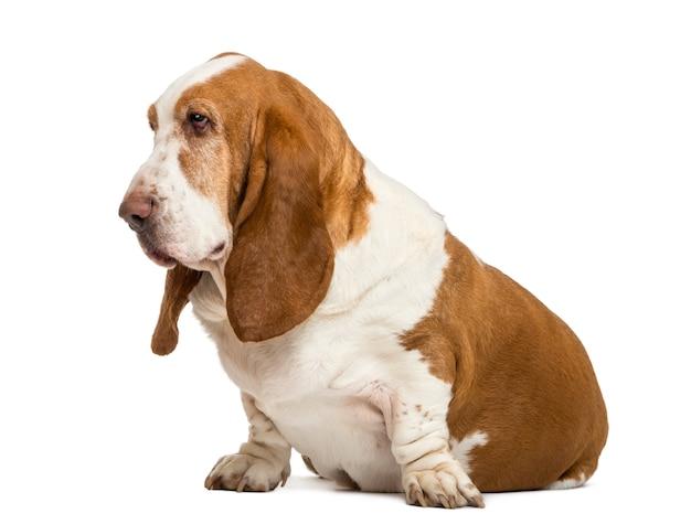 Basset hound sitzt und schaut links isoliert auf weiß