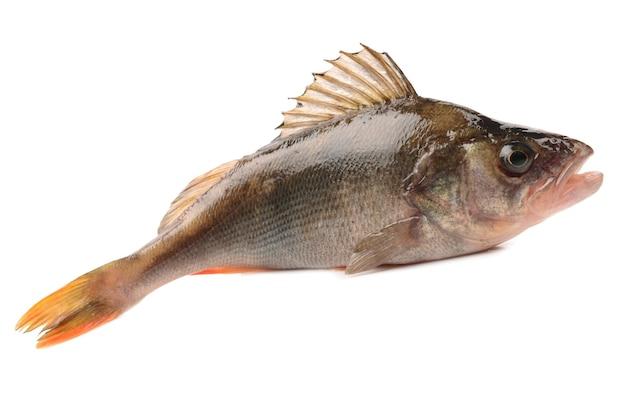 Bassfisch auf weißem hintergrund