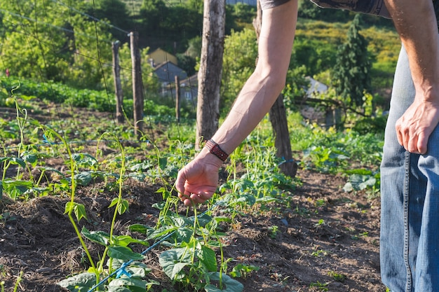 Bauer, der bohnenpflanzen platziert. hände, die grüne bohnensprossen platzieren. konzept der landwirtschaft. platz kopieren.