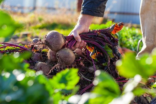 Bauer hält ein bündel rüben aus seiner ernte
