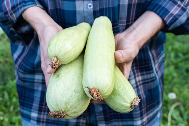 Bauer hält eine frische zucchiniernte in den händen, bio-gemüse aus dem garten