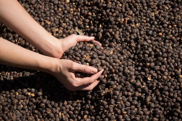 Bauer hält getrocknete kaffeebohne