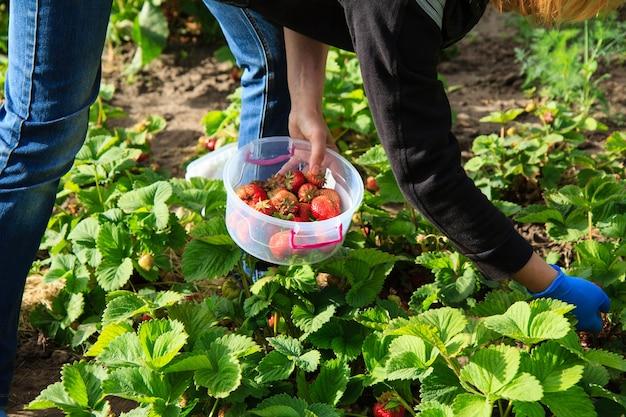 Bauer pflückt rote reife erdbeeren in plastikschüssel im garten