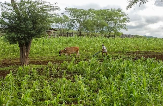 Bauer pflügt land mit animaldrawn pflug in juarez tavora paraiba brasilien maispflanzung