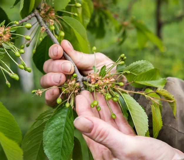 Bauer untersucht kirschbäume im garten